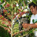 Pierden caficultores 70 por ciento de producción por roya